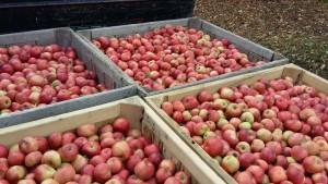 apple processing 2015